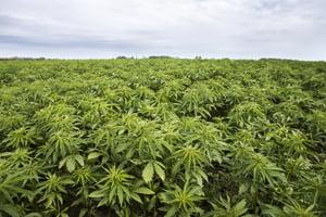 hemp-farm-field-cbd