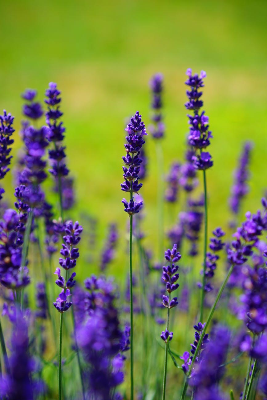lavender-purple-flower-field