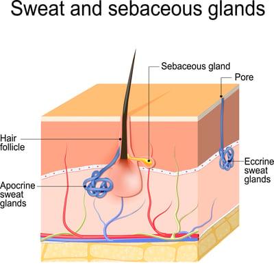 sweat and sebaceous glands - Adobe stock photo